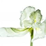 Tulpe Nr. 3-quer-j
